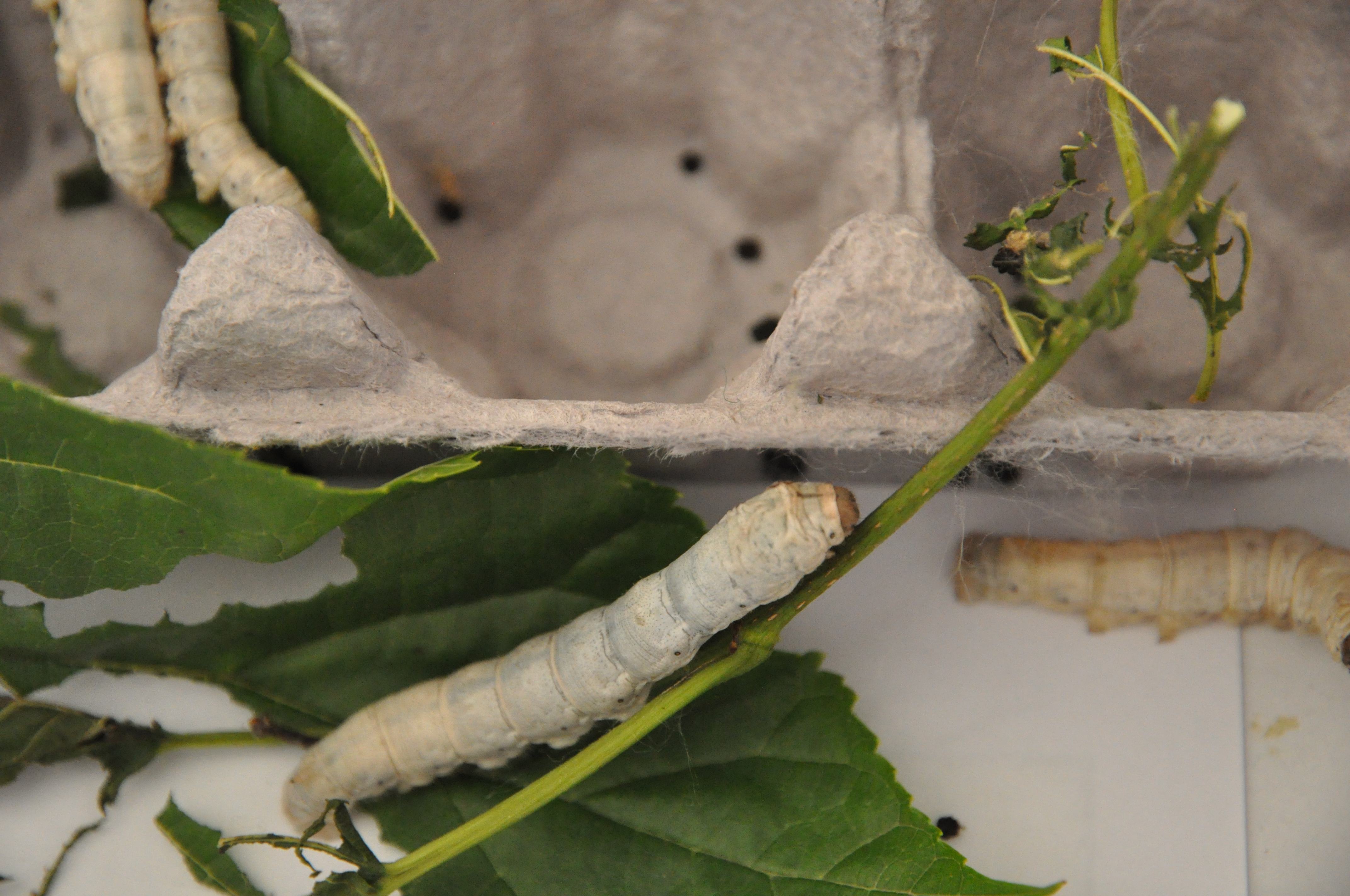 The life cycle of the silkworm montessori and me they nurture them so gently from the beginning to the end of their life cycle robcynllc Gallery